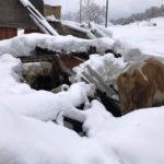 """Terremoto e neve: crollate due stalle, morti e feriti altri 90 animali. La Coldiretti: """"Ora chi ha sbagliato paghi"""""""