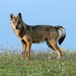 Anche dal Parco nazionale dei Monti Sibillini un appello contro l'abbattimento dei lupi