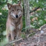 Duro scontro in Regione, Bisonni si scaglia contro Talè sulla caccia al lupo