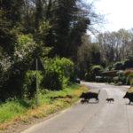 Nelle Marche agricoltori minacciati dai cinghiali: ora serve un adeguato piano di autodifesa