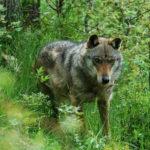 Danni causati dai lupi, tre milioni di euro stanziati dalla Regione