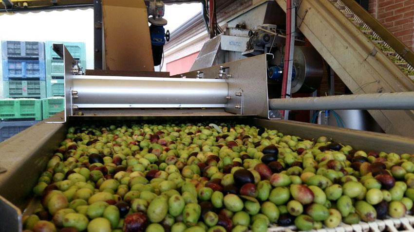 Iniziata la raccolta delle olive, quest'anno nelle Marche si avrà il 30% di olio in meno
