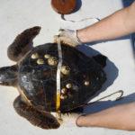 Anche nelle Marche il concorso di educazione ambientale dedicato alla salvaguardia delle tartarughe marine che premia le scuole