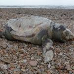 Continua nel mare Adriatico la strage di tartarughe: un altro bellissimo esemplare spiaggiato a Marotta