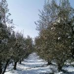 Le gelate rischiano di compromettere i raccolti degli agricoltori marchigiani