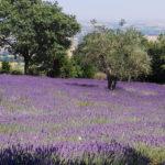 """Successo per """"Lavanda in fiore a Mombaroccio"""", partecipanti dalle Marche e dalla Romagna"""