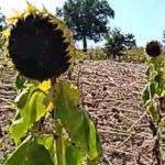 Continuano le incursioni dei cinghiali: pesanti danni nelle campagne del Maceratese