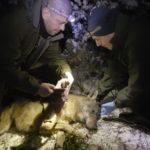 Radiocollari satellitari per mappare i movimenti dei lupi nel Parco dei Monti Sibillini