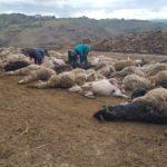 Strage di pecore dopo l'ennesimo attacco dei lupi ad un ovile