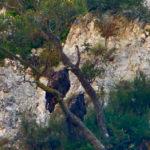 Una coppia di aquile reali nidifica nella Riserva del Furlo