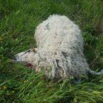 """Altre sette pecore sbranate, la Coldiretti di Ascoli e Fermo: """"Difendere gli allevamenti significa difendere la montagna"""""""