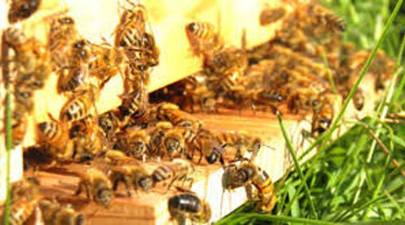 Anche nelle Marche allarme rosso per le api: apicoltori costretti a nutrirle per sventare la strage