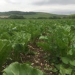 Dopo oltre 10 anni nelle Marche si torna a coltivare la barbabietola per lo zucchero bio e 100% italiano