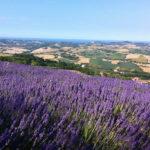 """Sabato e domenica """"Lavanda in fiore"""" a Mombaroccio con visite guidate, degustazioni e foto-tour"""