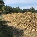 Dopo oltre 10 anni di assenza questa mattina nelle Marche prima storica raccolta della barbabietola da zucchero