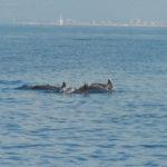 """Delfini avvistati a Pesaro, Ricci: """"È la conferma di quanto il nostro mare sia pulito"""""""