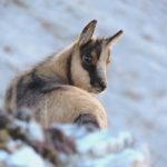 Censiti 123 esemplari di camoscio nel Parco Nazionale dei Monti Sibillini