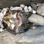 Una tartaruga uccisa dalla plastica rinvenuta sulla spiaggia