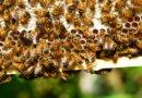 Anche nelle Marche aumentano i produttori di miele