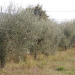 Con il Coronavirus a rischio gli oliveti marchigiani: vendite in calo del 15%