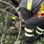 Capriolo bloccato in una rete, liberato dai Vigili del fuoco