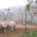 Provano a vendere pubblicità a un pastore terremotato, ma… finisce male