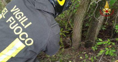 Un lupo resta impigliato in un bosco, liberato dai Vigili del fuoco / VIDEO