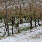 Nuovo allarme nelle campagne: la grandine distrugge vigneti e oliveti